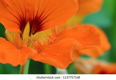 Abstract macro of an orange nasturtium flower with dark red markings