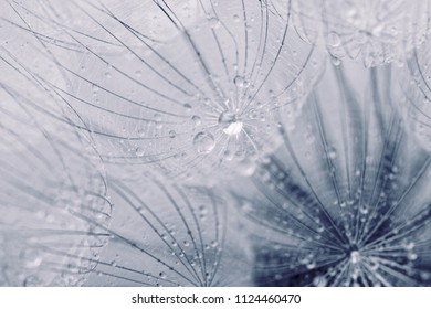 Abstract macro photo of dandelion seeds with water drops