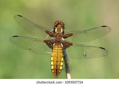 Abstract macro photo of a dragon fly (Platbuik libelle)