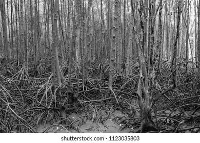 "abstract mangrove roots at Ban Hua Khod Mangrove Forest Boardwalk, Rayong, Thailand. Thai peoples also called ""Toong Prong Tong"", golden mangrove field."