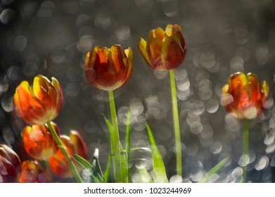 Abstract multy colored red and yellow tulips in a reflection of broken mirror with focus on the flowers