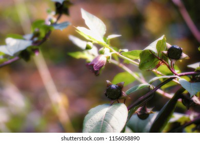 Abstract natural autumn background in pink purple tones.  Flowers and fruits of belladonna - deadly nightshade. Soft focus, nice bokeh.