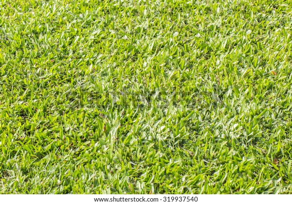 abstract natural background from a green grass of a lawn with a blank space for the text