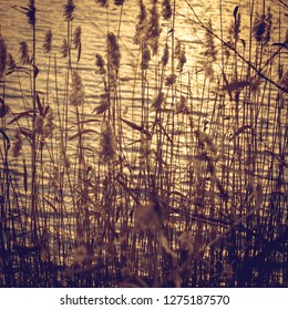 Abstract natural background. Reeeds against the golden water surface. Beautiful light and glare, square format.