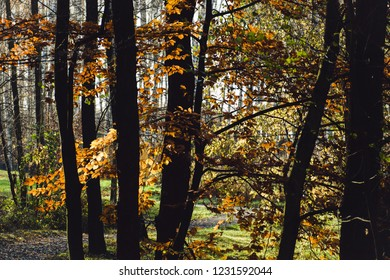 Abstract Natural Wallpaper Autumn Forest Dark Trunks In Contrast To Brightly Colored Leaves