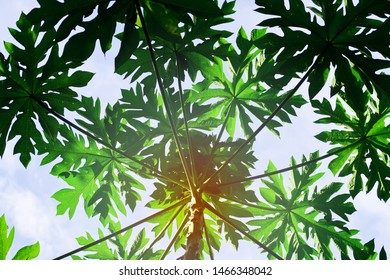 Abstract nature green background of papaya leaves look like cannabis against white clouds blue sky. Low angle view of papaya tree with tropical summer morning sunlight