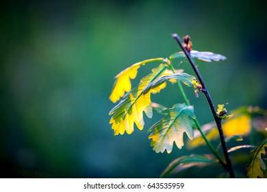 abstract oak twig in sunlight