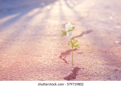 Abstract pastel color tone white flower growing on crack street, Soft focus and Filtered effect