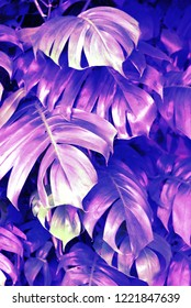 Abstract, purple, 80s/90s style tropical jungle background texture of Monstera leaves