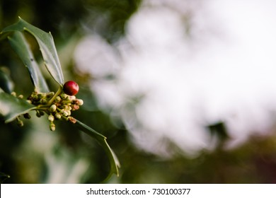 An abstract of a red holly berry on the end of branch.
