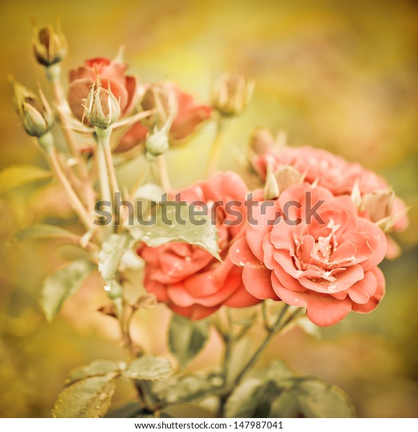 Abstract Romantic Pink Roses Flowers Water Stock Photo (Edit Now