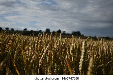 abstract shot of golden wheat
