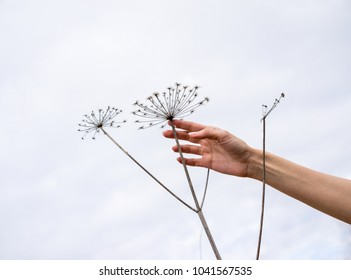 Abstract silhouettes of umbrellas dry inflorescences parsnip Sosnowski (Heracleum sosnowskyi) on a cloudy sky background. Hand woman touching plant