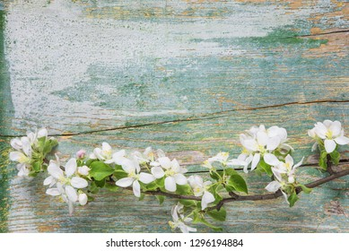 Abstract spring background of old painted blue board with branch of flowering apple branch covered with white flowers