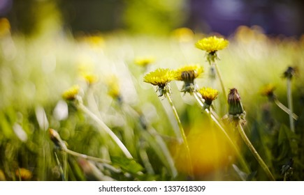 Abstract summer background with a yellow flower - a dandelion