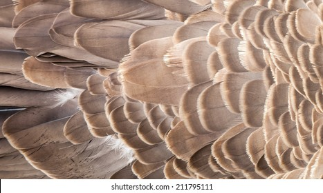 Abstract texture of the layered brown and cream feathers on the back of a Canada Goose (Branta canadensis)