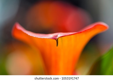 Abstract View of Orange Curve Blur Calla Lily Flower