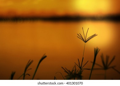 Abstract wildflowers background, Blurred Swollen Finger Grass at sunset.