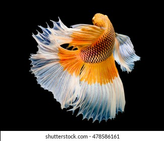 abstract of yellow Fish, Betta fish on black background