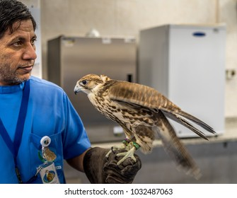 Abu Dhabi, UAE - Jan 11, 2018. Beautiful birds rest on the arm of falconer posing for the visiters in Falcon Hospital of Abu Dhabi