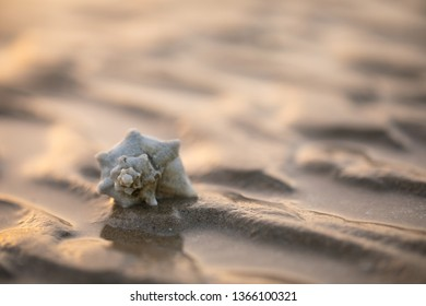 Abudhabi/ UAE- March 1 2019  One evening in Mirfa beach I was enjoying the sunset when I noticed these beautiful looking shells on top of the ridges of sand.