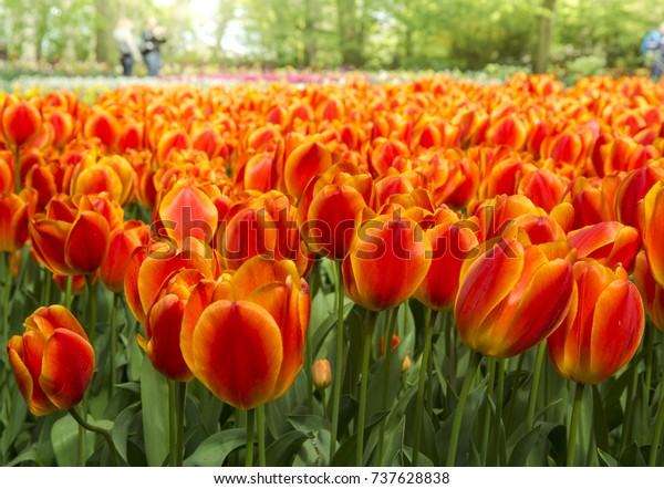Abundance of red tulips (Tulipa) - Bedding of colorful spring flowers. Field of blooming spring flowers with orange tulips (Tulipa)