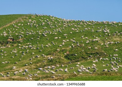 An abundance of sheep on a New Zealand hill