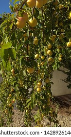 Abundance of yellow plums on arched, leafy plum tree branches. Fruitful plum tree branches, elegantly bending down. Sunlit branches bent down under a weight of plums. Plums growing in abundance.
