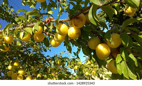 Abundance of yellow plums on leafy branches against the blue sky. Sunlit, fruitful branches bent down under a weight of plums. Yellow plums with a slight reddish blush ripening on a plum tree.