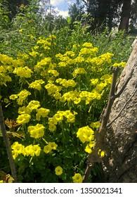 An abundance of yellow wildflowers fill a field
