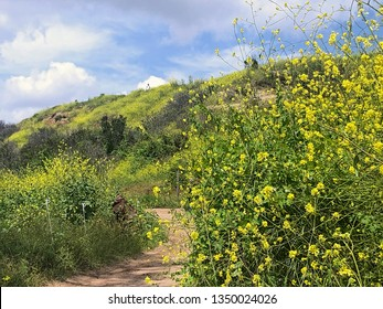 An  abundance of yellow wildflowers grow in a field