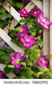 The abundant clematis   of violet (purple) color with a large flower on the pergola/ trellis near the house, in the garden. Many large purple clematis flowers on a background of green leaves.
