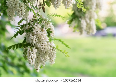Abundant flowering acacia branch of Robinia pseudoacacia, false acacia, black locust, sunny day. Source of nectar for tender but fragrant honey