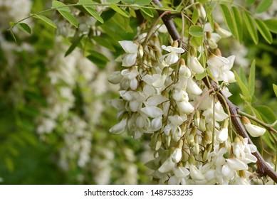 Abundant flowering acacia branch of Robinia pseudoacacia, false acacia, black locust close-up. Source of nectar for tender but fragrant honey. Locust tree blossom - Robinia pseudoacacia