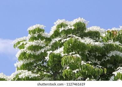 Abundant flowering Dogwood tree (Cornus Kousa Mily Way) in close up, white flowers in a blue sky