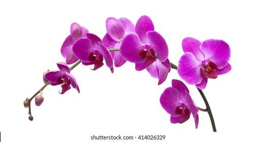 abundant flowering of magenta phalaenopsis orchid isolated on white