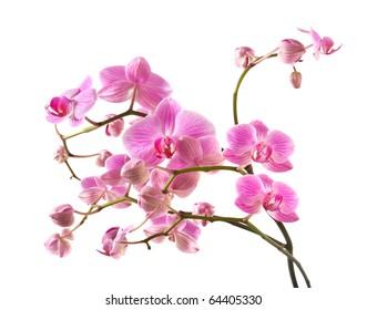 abundant flowering of pink stripy phalaenopsis orchid isolated on white