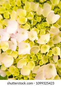 abundant flowers of  french hydrangea background wet after rain