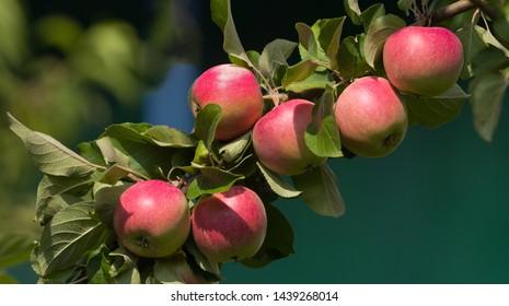 Abundant harvest of red apples on apple tree branch. Apples ripens on an apple tree branch. Selective focus.