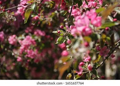 abundant-spring-flowering-apple-trees-26