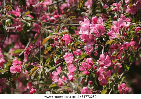 Abundant spring flowering Apple trees. Background of delicate pink flowers on tree branches