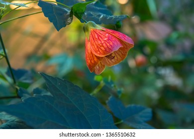 Abutilon hybridum CHINESE LANTERN hanging colorful flower against natural green background