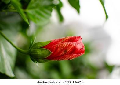 Abutilon Megapotamicum, Abutilon Hybridum (Flowering Maple Plant, Lucky Lantern Yellow) ; Tropical red flower bud hanging  with green leaves - Image. Spring, birth, ready, new start concept