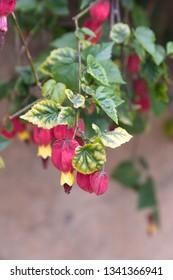 Abutilon megapotamicum plant with red - yellow flowers,  Indian mallow, linterna china, trailing abutilon