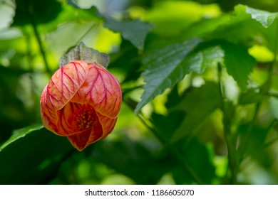 Abutilon Pictum aka Redvein Abutilon, Redein Flowering Maple and Chinese lantern. Viewed from below and growing in it's natural foliage setting.
