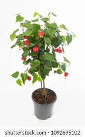 Abutilon Pink Plant