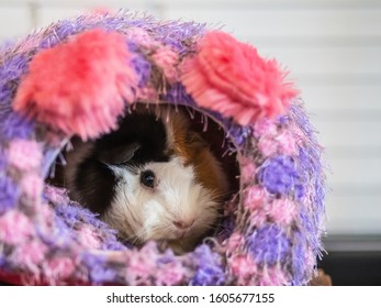 Abysinnian guinea pig in a soft bed