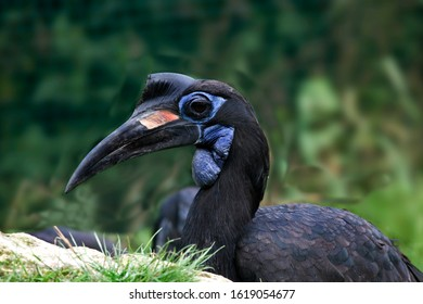 Abyssian Ground Hornbill or Norhtern Ground Hornbill, bucorvus abyssinicus, Portrait of Female