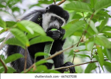 Abyssinian Black and white Colobus - Mantled Guereza- Scientific name Colobus guereza. This species diet is based primarily on leaves and unripe fruits and thus