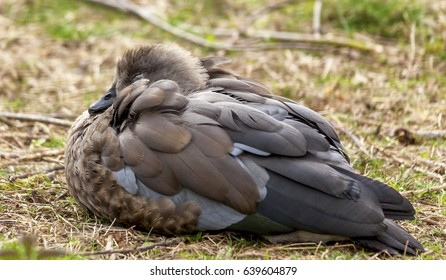 Abyssinian blue-winged goose asleep on the grass